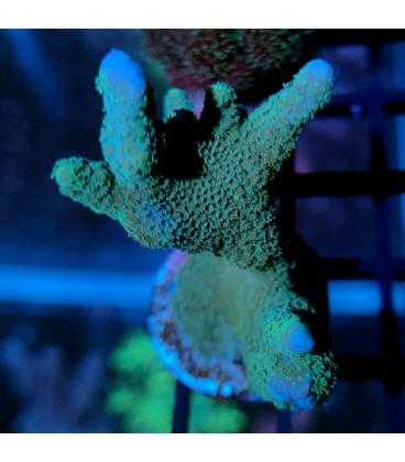 Montipora digitata Blue