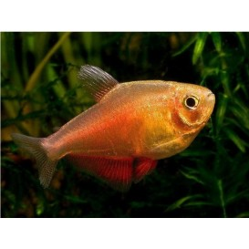 Tetra Flame Orange - Hyphessobrycon flammeus