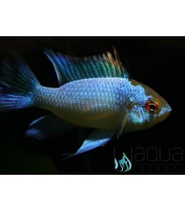 Electric Blue Ram - Mikrogeophagus ramirezi L