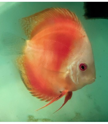 Discus Red Melon 9-10